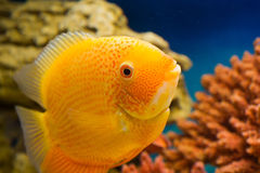 Heros efasciatus (цихлазома северум красно. Photo of exotic fish in home aquarium Stock Photography