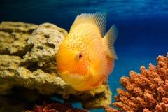 Heros efasciatus (цихлазома северум красно. Photo of exotic fish in home aquarium Stock Photo