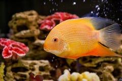 Heros efasciatus (один северум красноточеч. Photo of exotic fish in home aquarium Royalty Free Stock Images
