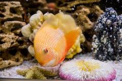 Heros efasciatus. Photo of exotic fish in home aquarium Stock Images