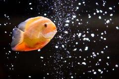Heros efasciatus. Photo of exotic fish in home aquarium Royalty Free Stock Photos