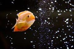 Heros efasciatus. Photo of exotic fish in home aquarium Royalty Free Stock Photo