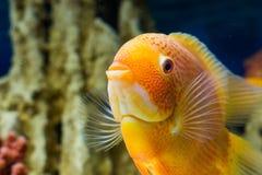 Heros efasciatus. Photo of exotic fish in home aquarium Stock Photo