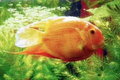 Heros severus. Banded cichlid. Stock Photography