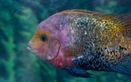 Herotilapia Multispinosa Rainbow Cichlid Royalty Free Stock Photos