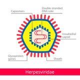 Herpesviridae Ταξινόμηση των ιών απεικόνιση αποθεμάτων