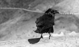 Herr Black Bird arkivfoto