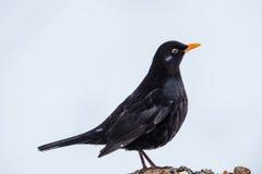 Herr Blackbird Royaltyfria Bilder