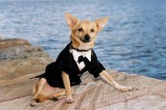 Herr-Chihuahua lizenzfreie stockbilder