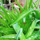 Herr ladybird Lizenzfreies Stockbild