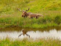 Herr Moose Stockfotografie