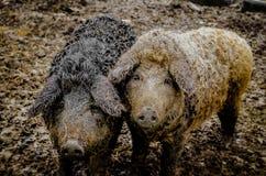 Herr och fru Pig Arkivbild