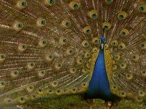 Herr Peacock Lizenzfreies Stockbild