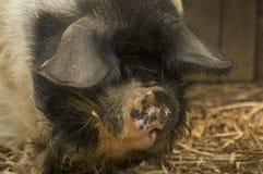 Herr Pig Lizenzfreies Stockfoto