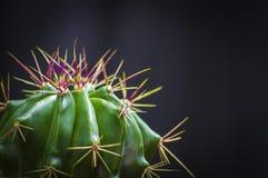 Herrerae del Ferocactus Fotografía de archivo