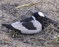 Herrero Lapwing Plover - pájaros del gran parque internacional de Lumpopo imagenes de archivo