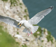 Herrgin gull seabird in flight Stock Photos