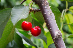 Free Сherries Tree, Cherries With Green Foliage Royalty Free Stock Photos - 54757578