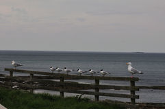 Herring and Black-headed gulls. Royalty Free Stock Image