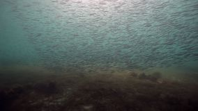 Herring eastern underwater school of fish in Barents Sea of Russia. Diving in cold water on background of blue lagoon. Relax video about marine animals in stock footage