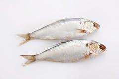 Herring fish. Fresh herring fish on white background Stock Photos