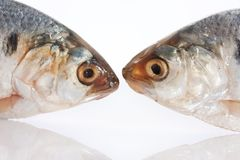 Herring fish Stock Photography