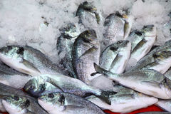 Herring fish in ice Royalty Free Stock Photo