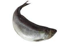 Herring fish isolated Stock Photo
