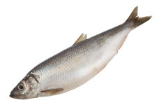 Herring fish isolated Royalty Free Stock Photo