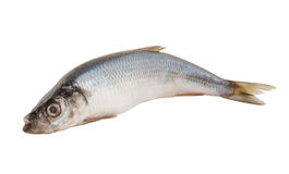 Herring fish isolated Stock Photos