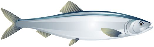 Herring fish realistic vector illustration Stock Images