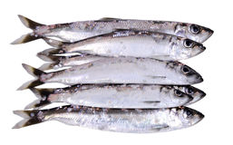 Herring fish in stock Stock Image