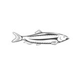 Herring fish vector design isolated on a white. Background Royalty Free Stock Photo