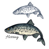Herring fish vector isolated sketch icon Royalty Free Stock Photography