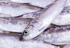 Herring fishes Stock Photography