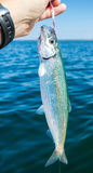 Herring fishing time Stock Images