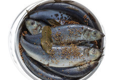 Herring with flavoring in a bucket Royalty Free Stock Photo