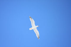 Herring/Glaucous hybrid seagull on azure blue sky Royalty Free Stock Photography