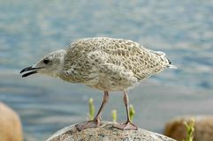 Herring Gull. Baby bird of Herring Gull Stock Image