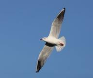 Herring Gull. Close up of a Herring Gull in flight Stock Photo