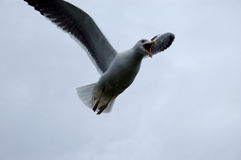 Herring Gull. In Flight Stock Photo