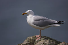 Herring Gull. Larus argentatus perched on a rock on Skomer royalty free stock photo
