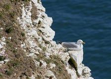 Herring Gull Stock Photo