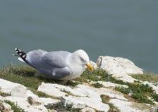 Herring Gull Stock Images