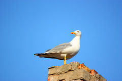Herring-gull Stock Photos