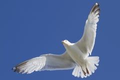 Herring Gull Royalty Free Stock Image