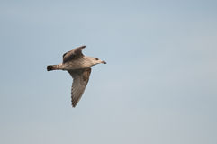 Herring Gull Stock Photos