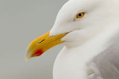 Herring Gull. A close-up of a Herring Gull Royalty Free Stock Photos