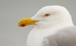 A Herring Gull Stock Photography