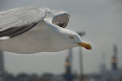 Herring Gull. On the hunt for food Royalty Free Stock Photo
